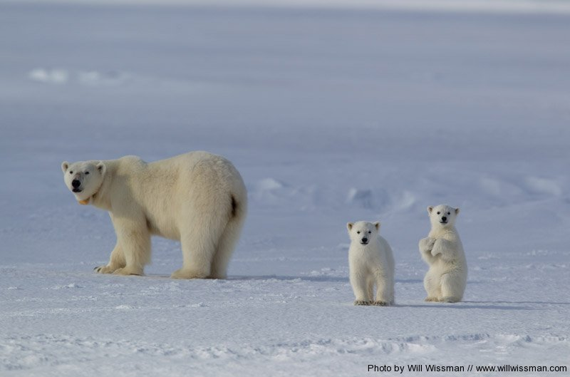 A polar bear mum with her youngsters.